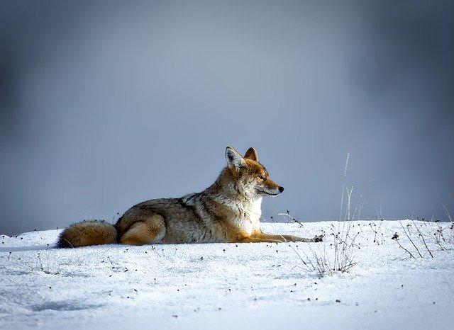 coyote-1730060_640