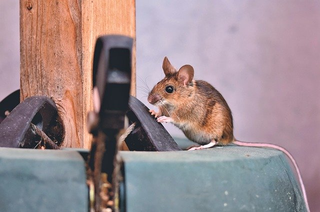 house-mouse-5090095_640